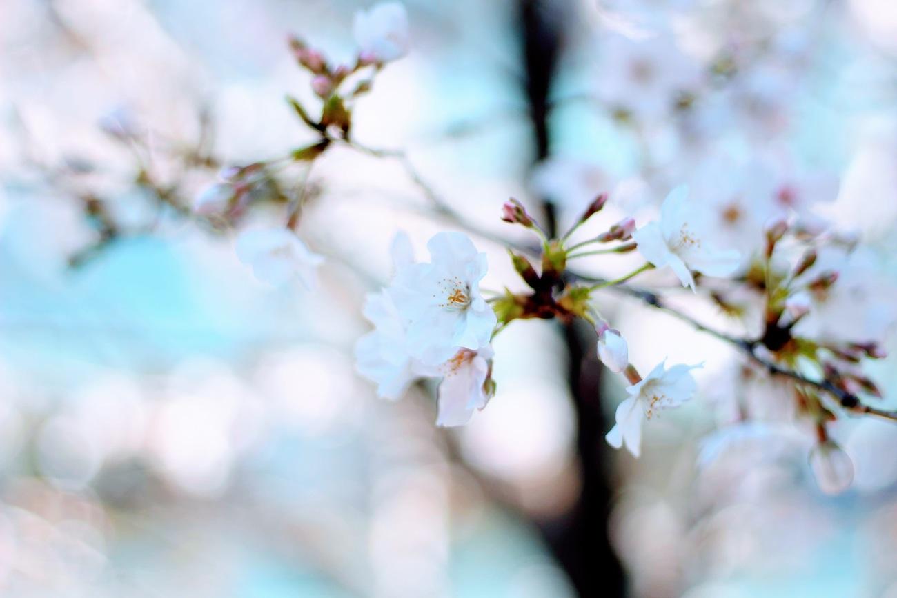 渋谷・マークシティー前の桜の花/2019年3月24日:撮影 SHUN ONLINE
