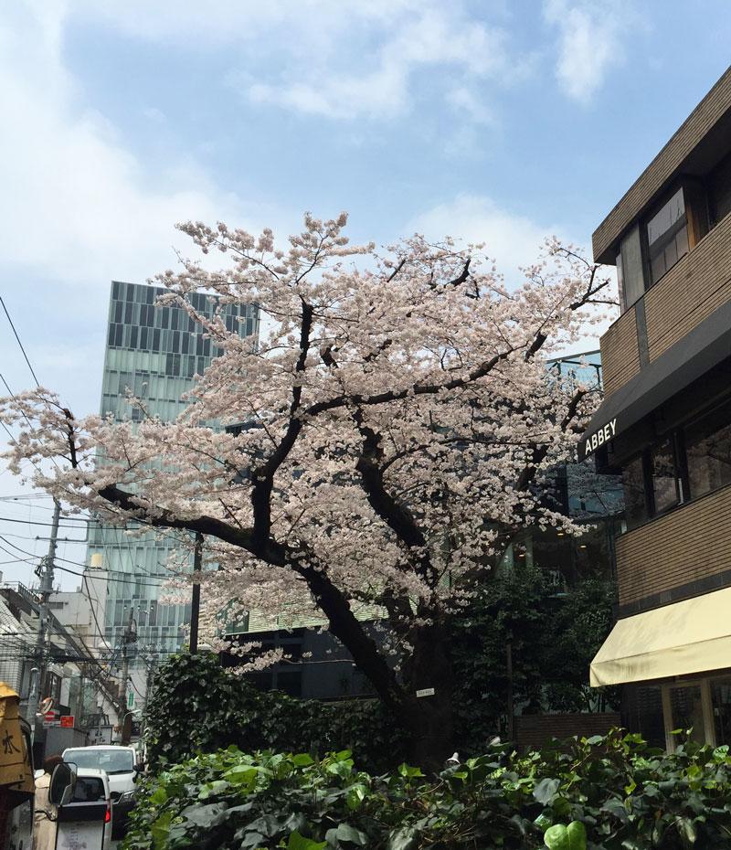 青山の桜・2016年4月1日