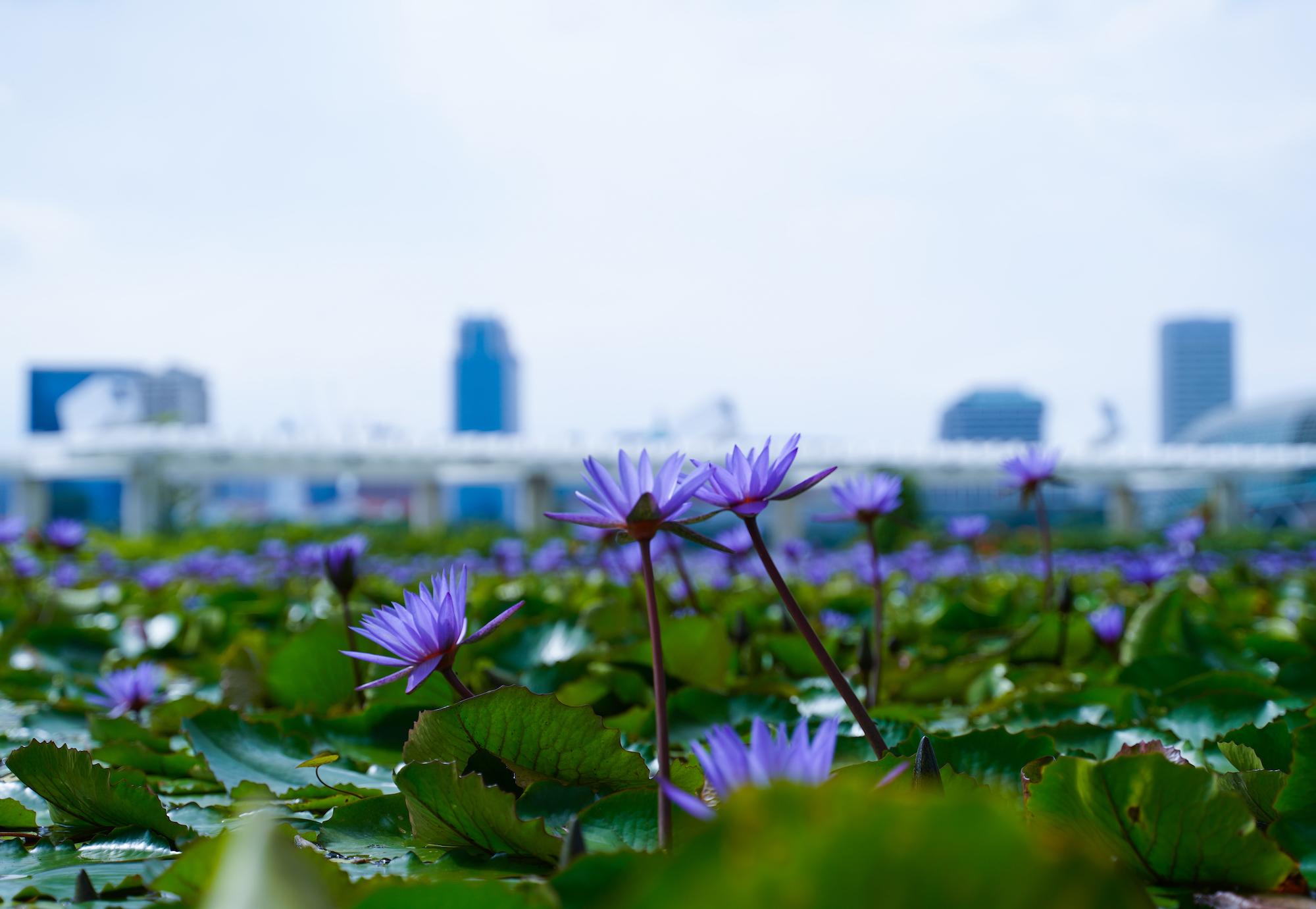 シンガポールのマリーナベイサンズ横のマリーナ湾にあるMUSEUMの池に咲いていた花/2019年12月1日:撮影:SHUN ONLINE