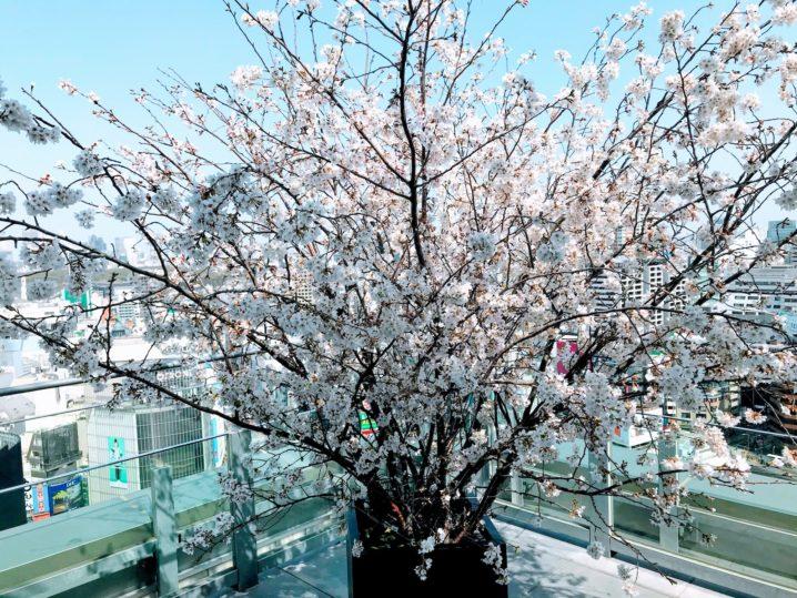 桜 @渋谷