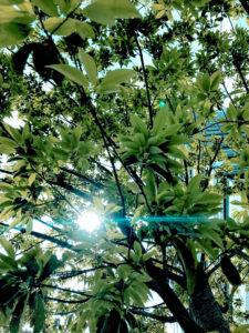 新緑(葉)と太陽